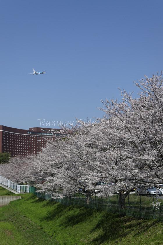 空飛ぶウミガメと成田の桜